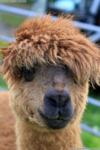 Photo of an alpaca on a farm near Rye