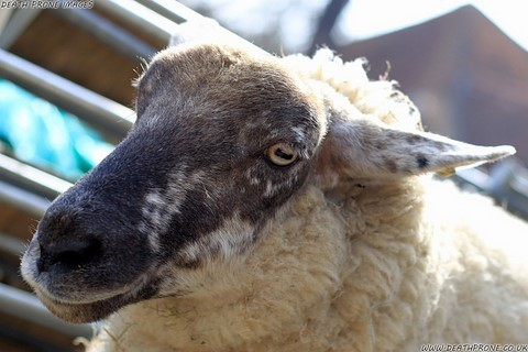 Photo of a sheep on a farm near Rye