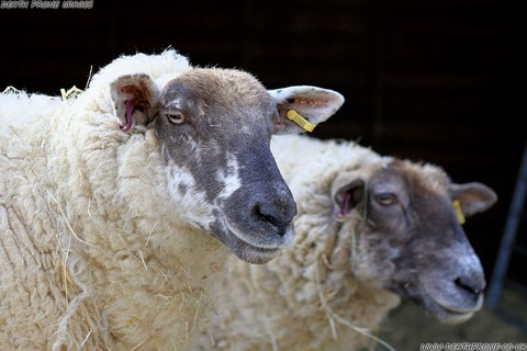 Photo of two sheep on a farm near Rye