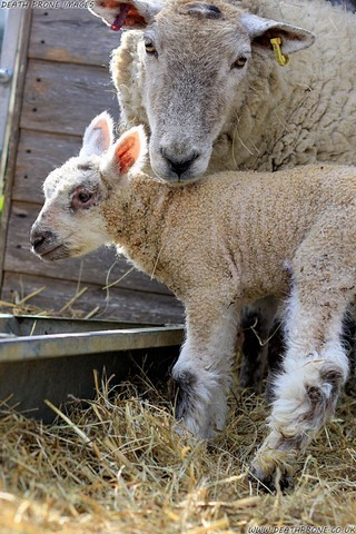 Photo of lambs or baby sheep, just a couple of days old on a farm near Rye